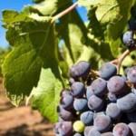 bebidas, vino, cata, nota de cata, Bodegas Ildum Vinarius, agricultores, viñedos, hectáreas, uva, agricultura sostenible, agricultura respetuosa con el medio ambiente, GALLUS OPTIMUS BLANC 2014, GALLUS OPTIMUS ROSADO 2014, GALLUS OPTIMUS 2013, BELLMUNT I OLIVER GRAN BRUT 2013, barrica, vino tinto, vino blanco, vino rosado, vino espumoso, variedad de uva, Tempranillo, Embolicaire, Macabeo, Merlot, Syrah, Cabernet, Pinot Noir, Chardonay, Moscatell, Garnacha, maridar, maridaje, maridaje gourmet y más