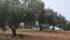Producto de mercado de temporada, producto de mercado, producto de temporada, Producto natural, productos de temporada,maridaje gourmet y mas, maridaje gourmet, maridaje, maridar, oleuropeína,tirosoles,hidroxitirosoles,oleocanthal,antioxidantes naturales,aceite de calidad, aceite de oliva,aceite de oliva virgen extra ahumado, aceite de trufa, Aceite para consumo, aceite virgen extra, Aceites Valderrama, aceituna,aceituna arbequina, aceituna cornicabra, aceituna hojiblanca,aceituna picual, aceituna picudo,aceitunas, alimentación,alimentacion saludable,Almazara Valderrama, AOVE,aoves con trufa, arbequina,calidad de aceite, cata de aceite,cata de aove, catas de aceite,cocina mediterránea, comprar aceite, comprar aceite de oliva,comprar aceite virgen extra,cosecha de aceite, dieta mediterránea, el mundo del aceite, elevada densidad,foodies, gastronomía, gourmet,Grand Cru, Hojiblanca,intensidad aromática, maridaje,maridaje gourmet y mas,mundo de aceite, Ocal, Óleum del Molino, Picual, Picudo,sabores de aceites, Sabor de aceite, Valderrama, variedades de aceituna, aceites cosecha 2018,polifenoles,